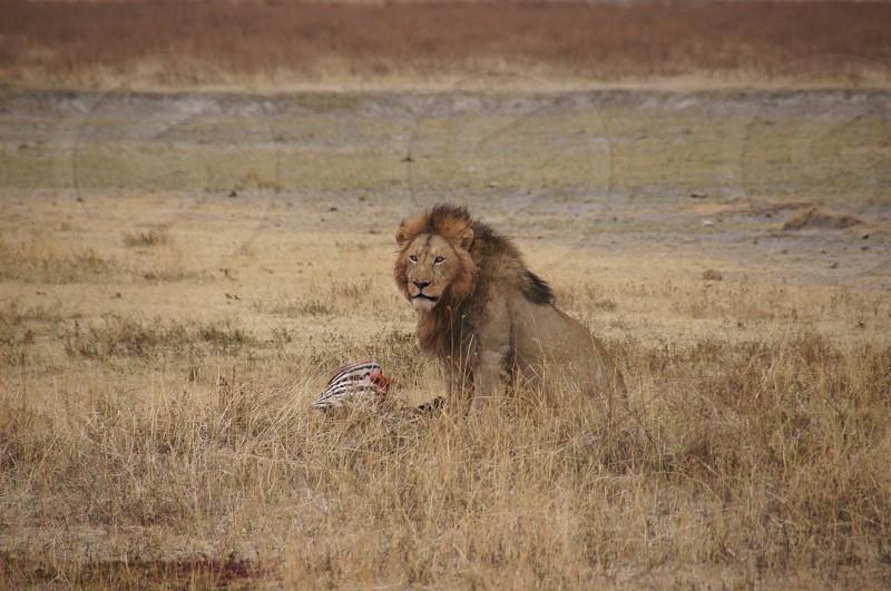 A lion's breakfast in Africa photo