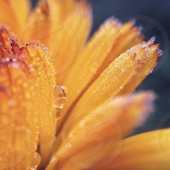close up of water droplets on yellow flower photo