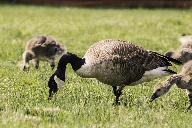 canada geese in green grass during day time photo
