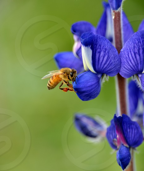 Bee on a Lupin photo