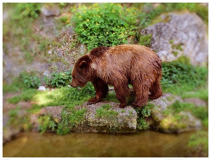 Brown bear walking near stream  photo