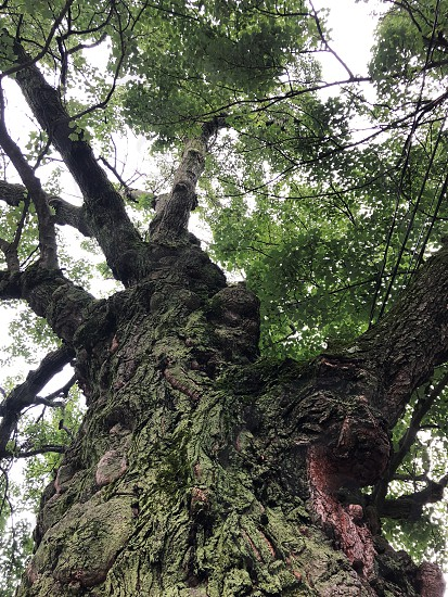 Looking up at a large tall tree photo