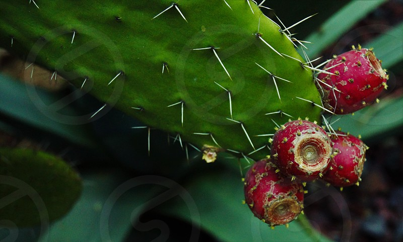 Green white red prickles cactus prickly pear. photo