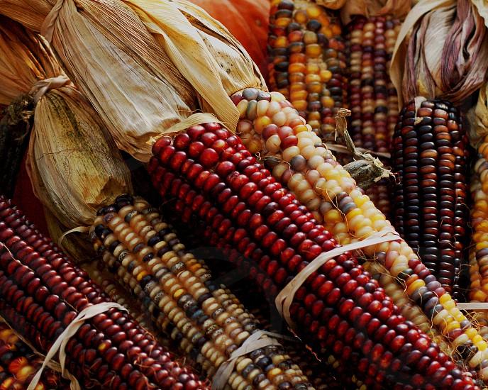 """Indian Corn"" photo"