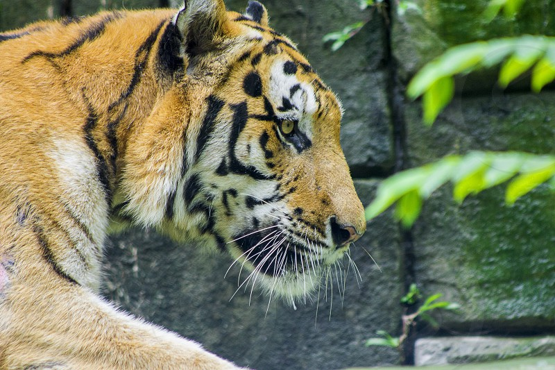 Siberian tiger in the walk photo