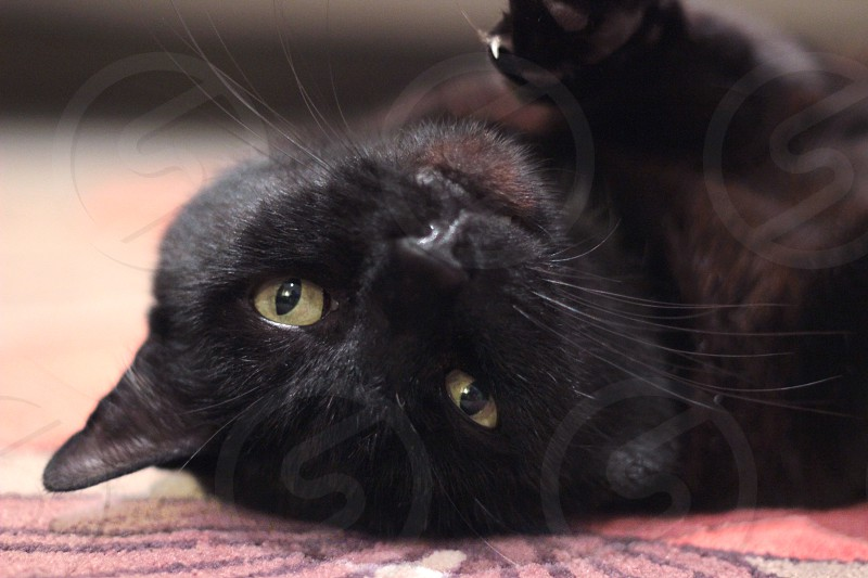 black cat lying on a red carpet photo