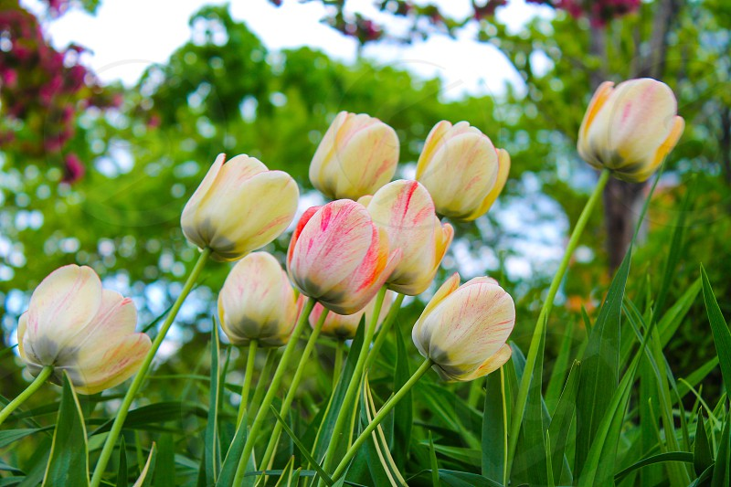 Spring • tulips • Toronto • nature • yellow • pink • colourful  photo