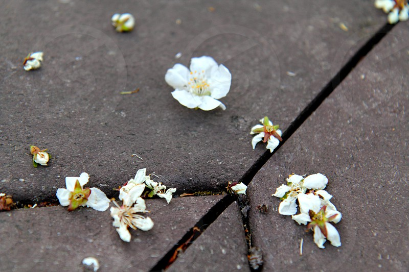 Close up shot of some white apple blossoms on a grey deck.  photo