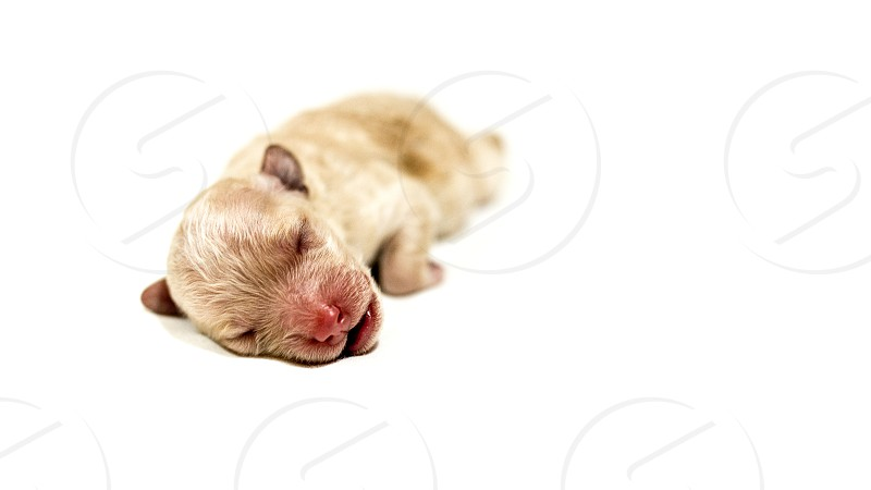 Puppy Pet Dog New born born christmas young cute white poodle toy studio white  photo