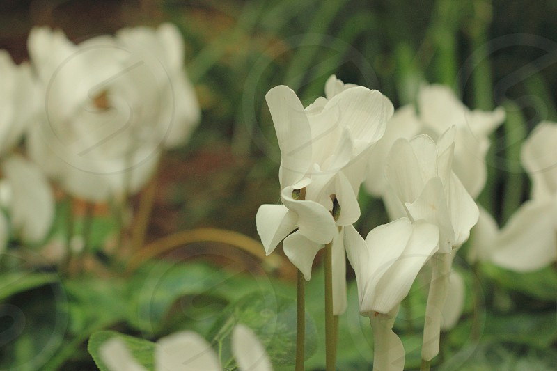 Spring flower white garden leaves grow growing bloom blooming peaceful pedal close up soft photo