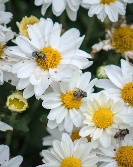 bees on white and yellow flower photo