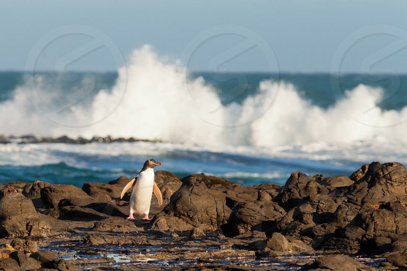 Adult native New Zealand Yellow-eyed Penguin Megadyptes antipodes or Hoiho waddling home to nest over rocky shore with surf of South Pacific Ocean in background photo