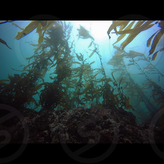 Kelp Forest off of Monterey CA  photo