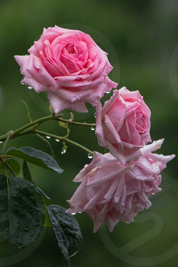 Spring Roses photo