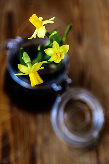 Daffodils planted in a glassjar photo