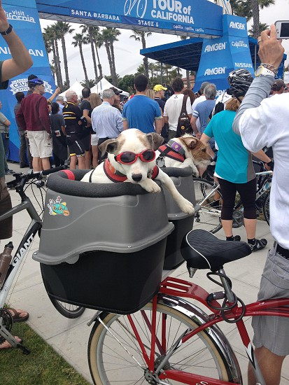 Jack russell terrier with sunglasses riding in the bike seat photo