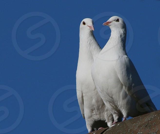 Pair of white doves photo