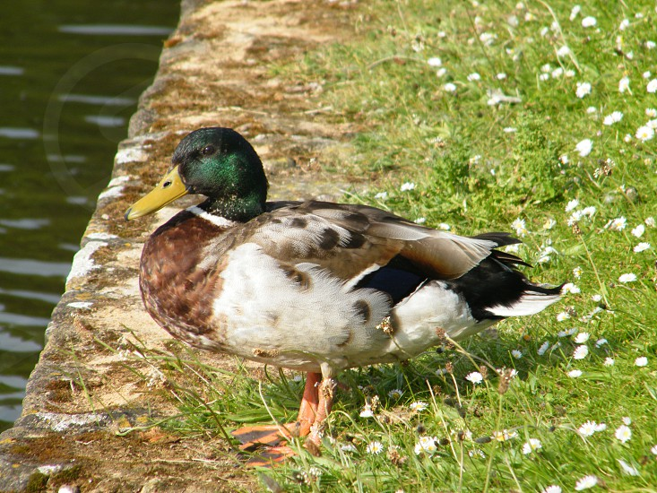 Close up of a duck photo