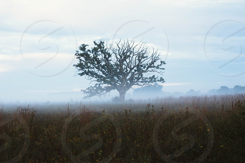 Lone tree in a foggy field. Southern Wisconsin USA. photo