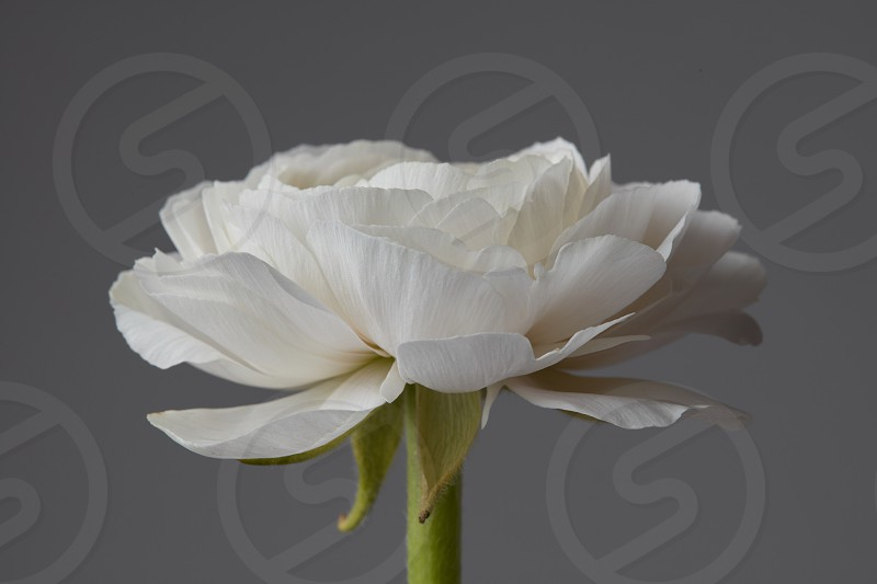 one white ranunculus on a gray background the concept of a greeting card for Valentine's Day Mother's Day photo