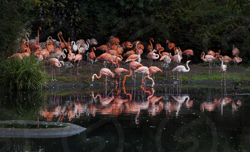 Flamingos or flamingoes are a type of wading bird in the genus Phoenicopterus the only genus in the family Phoenicopteridae. photo