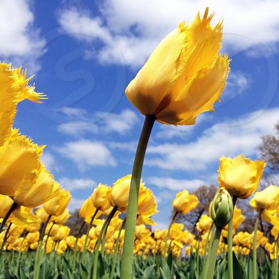yellow tulip flowers photo