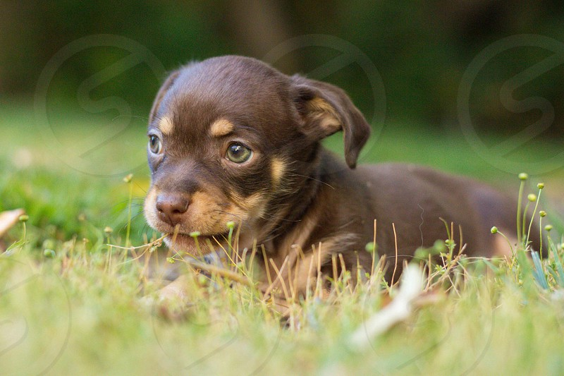 black and tan puppy on green grass photo