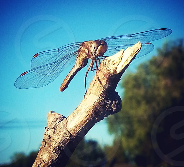 Dragonfly Resting. A beautiful member of the Dragonfly family this incredible ariel acrobat takes a quick rest atop a favorite broken branch. photo