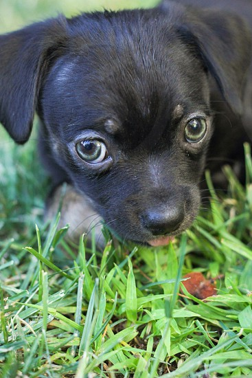 black and gray haired puppy laying on green grass photo