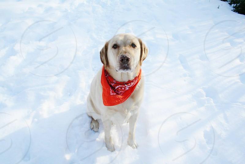adult yellow Labrador retriever with red handkerchief collar photo