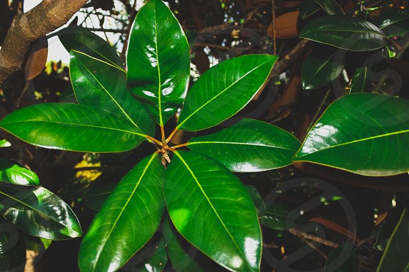 shiny green foliage  photo