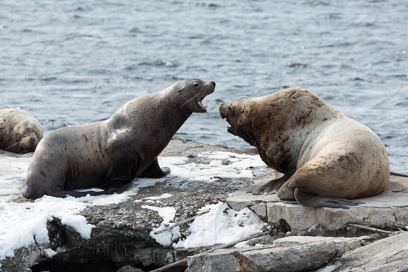 Nature of Kamchatka: rookery Steller Sea Lion or Northern Sea Lion (Eumetopias Jubatus). Russia Kamchatka Peninsula Avachinskaya Bay Petropavlovsk-Kamchatsky City. photo