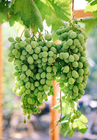 Grapes grape wine  grape grapevine wine yard  vineyard fruit fruits harvest photo