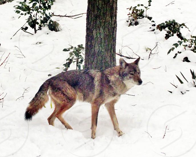 coyote winter winter scene photo