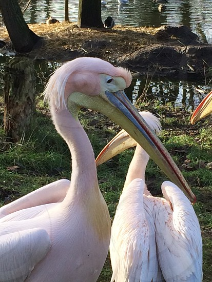 White Pelicans that eat red krill turn pink! photo