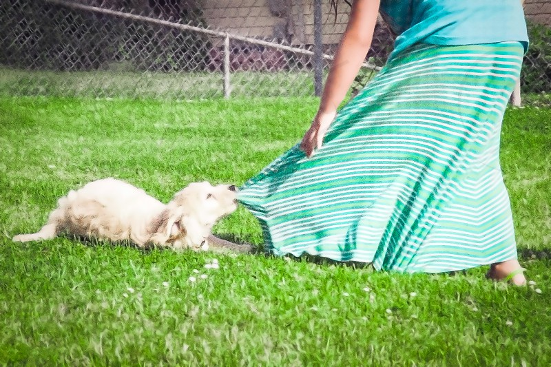 PICS OF PETS | Oh Phil!  The mini-goldendoodle puppy found something to play with-maxi skirts are perfect! photo
