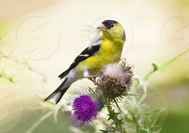 american goldfinch on purple thistle photo