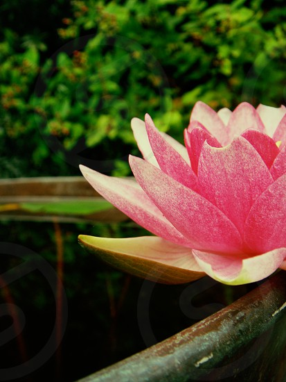 selective focus photography of pink lotus above water surface photo