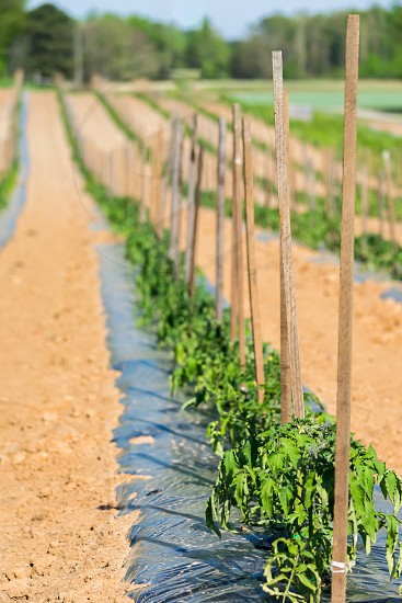 Row of young staked tomato plants in the field during summer photo