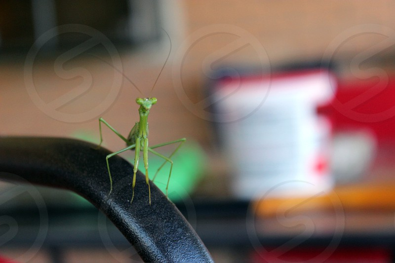 green praying mantis on arm chair photo