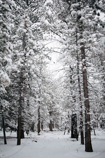 snow covered tall trees photo