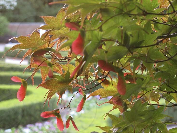 Maple tree greenery green leaves fruit samaras maple keys whirlybirds polynoses photo