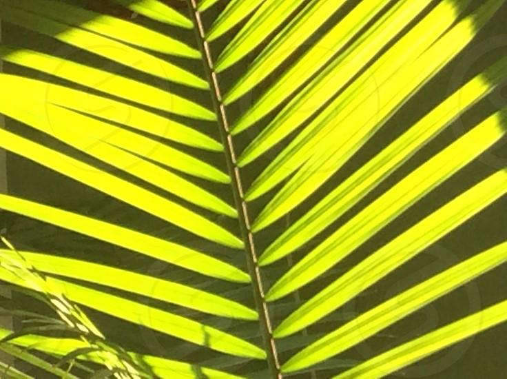 green majesty palm tree  photo