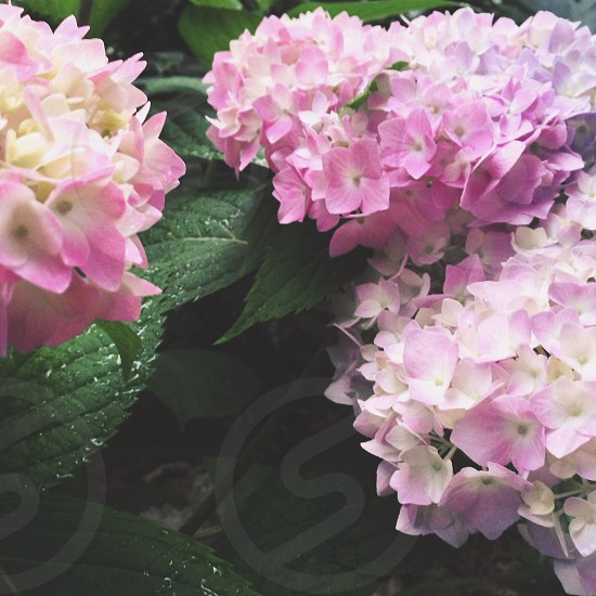 pink hydrangeas flower photo