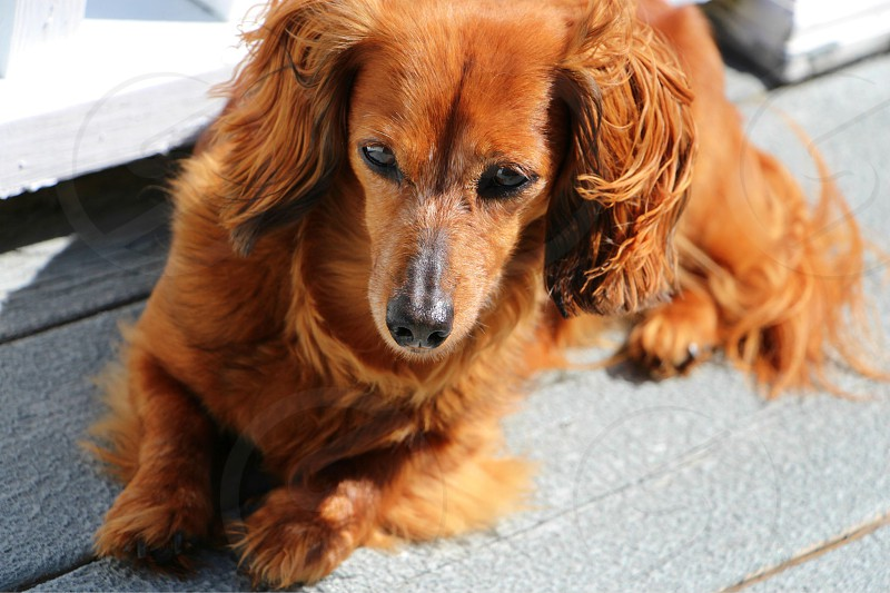 Curious wiener dog porch outside windy brown dog long hair photo
