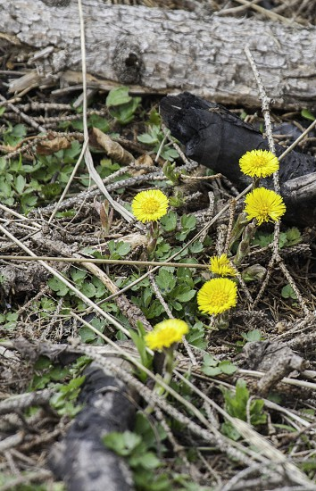 coltsfoot photo