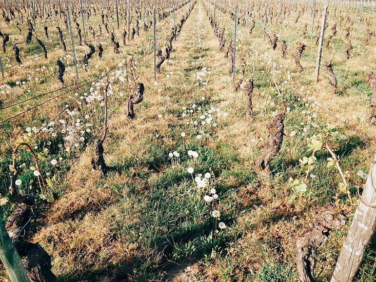 Vineyards in Rhône France. photo