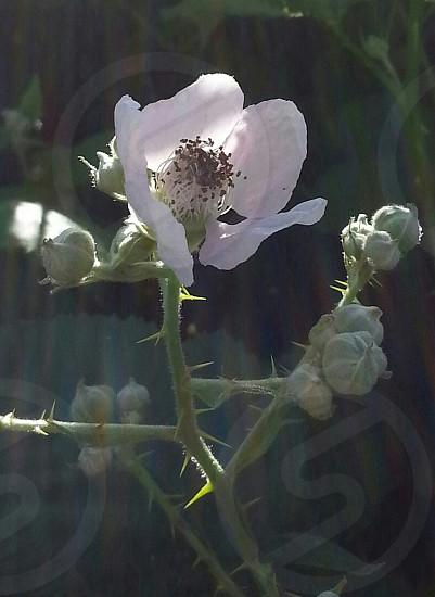 flower blossom blackberry fruit vine thorns  early summer photo