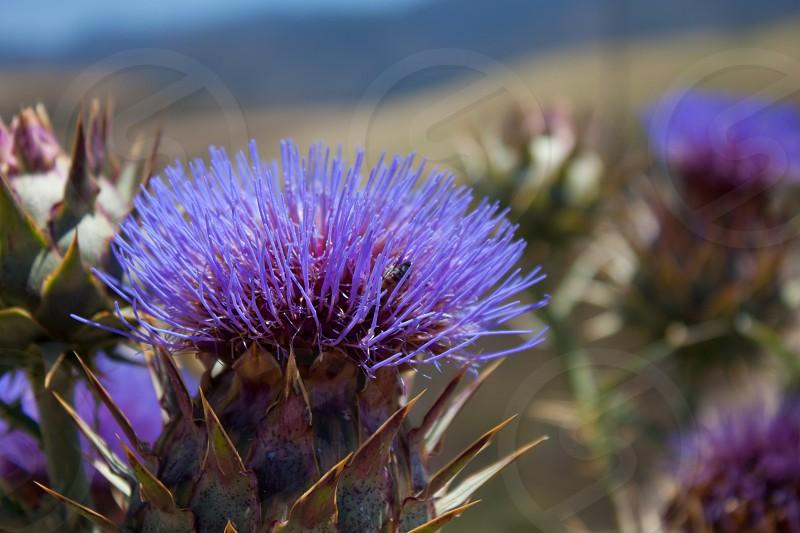 purple thistle flowers photo
