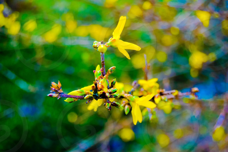 Spring flower yellow blossom nature beauty photo